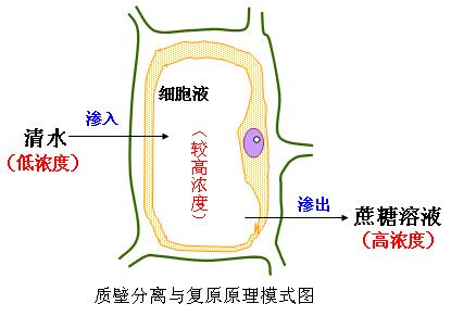 高中生物-观察植物细胞的质壁分离和复原